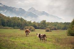 Eine Herde von Kühen auf dem Gras in der Landschaft Lizenzfreies Stockfoto