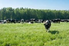 Eine Herde von Kühen auf Weide lizenzfreies stockbild