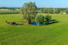 Eine Herde von Kühen lässt in einem Teich an einem sonnigen Tag weiden lizenzfreies stockfoto
