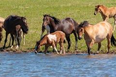 Eine Herde von Pferden mit Fohlen trinken Wasser von einem Teich auf einem heißen, Sommertag lizenzfreies stockfoto