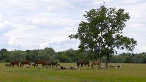 Eine Herde von Pferden und von Schafen auf einer grünen Weide nahe bei einem Baum und Wald an einem bewölkten Tag stock video footage