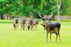 Eine Herde von Rotwild Lizenzfreie Stockfotografie