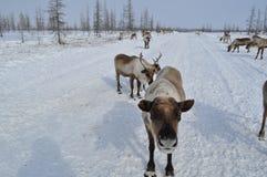 Eine Herde von Rotwild auf der Winterstraße Stockfotografie
