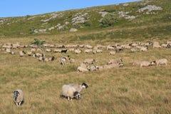 Eine Herde von Schafen kreuzt ein Feld in Frankreich Lizenzfreies Stockfoto
