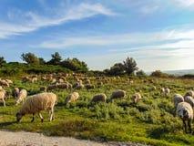 Eine Herde von Schafen lässt auf einer Wiese weiden lizenzfreie stockfotos