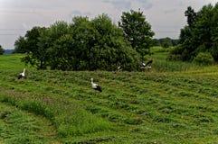 Eine Herde von Störchen in einer ländlichen Feldjagd für Frösche Schöne grüne Landschaft Lizenzfreie Stockfotografie
