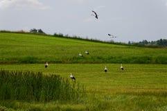 Eine Herde von Störchen in einer ländlichen Feldjagd für Frösche Schöne grüne Landschaft Stockbilder