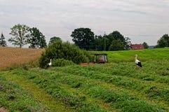 Eine Herde von Störchen in einer ländlichen Feldjagd für Frösche Schöne grüne Landschaft Lizenzfreie Stockfotos