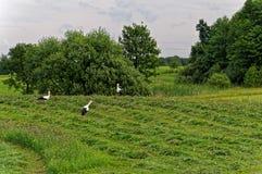 Eine Herde von Störchen in einer ländlichen Feldjagd für Frösche Schöne grüne Landschaft Stockfotos
