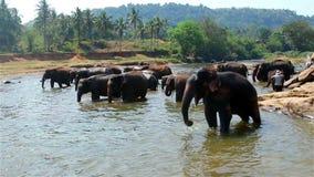 Eine Herde von wilden Elefanten stock video footage