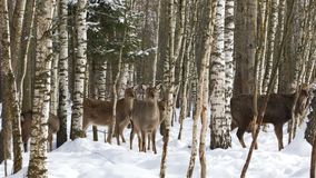 Eine Herde von wilden Sikahirschen im Wald stock video