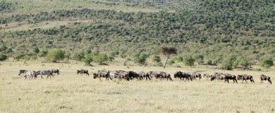 Eine Herde von wilden Tieren in der schönen Wiese des Masais Mara Stockbild