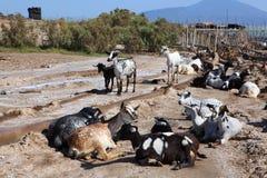 Eine Herde von Ziegen lizenzfreie stockfotos