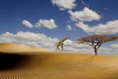 Eine hohe Giraffe in der afrikanischen Wüste Lizenzfreies Stockbild