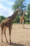 Eine hohe Giraffe im Chester-Zoo Stockbild