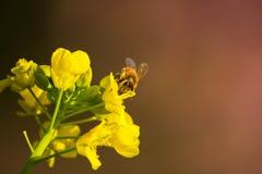 Eine Honigbiene mit Vergewaltigungsblume Lizenzfreies Stockfoto