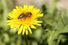 Eine Honigbiene sitzt auf einem L?wenzahn stockfoto