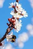 Eine Hummel, die auf Aprikose blosson bestäubt lizenzfreies stockfoto