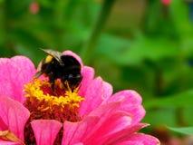 Eine Hummel, die auf einer bunten Blume sitzt Lizenzfreie Stockbilder