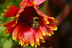 Eine Hummel, die Blütenstaub sammelt Stockfoto