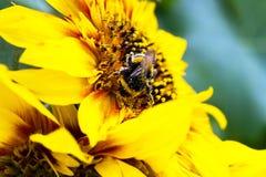 Eine Hummel erfasst Blütenstaub auf einer Sonnenblume Stockbild