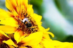 Eine Hummel erfasst Blütenstaub auf einer Sonnenblume Lizenzfreies Stockfoto