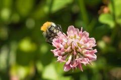 Eine Hummel erfasst Blütenstaub vom Klee Lizenzfreie Stockfotografie