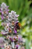 Eine Hummel sammelt mit Blumen Nektarform 'Wollziester stockfoto
