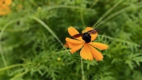 eine Hummelfliege, die ?ber gelben Blumen landet stockfoto