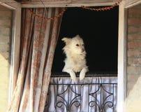 Eine Hundeaufpassende Außenseite vom Fenster Lizenzfreies Stockbild