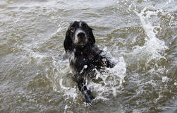 Eine Hundeschwimmen im Fluss Stockbilder