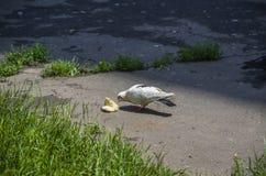 Eine hungrige Taube isst Brot Stockfoto