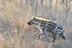 Eine Hyäne im moring Sonnenschein lizenzfreies stockbild