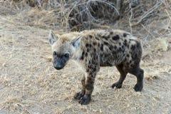 Eine Hyäne mit hellen ayes stockfotografie