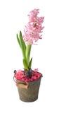 Eine Hyazinthe ist in einer dekorativen Wanne Stockfoto