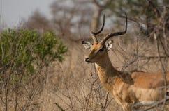 Eine Impala, die seine langen gebogenen Hörner anzeigt Stockbilder