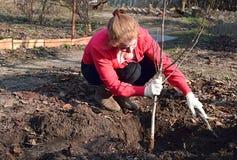 Eine junge Frau, die einen Walnusssämling pflanzt stockfotos