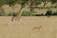 Eine junge Giraffe, die zu ihrer Familie läuft, wenn ein Löwe in der Savanne erscheint stockfotografie