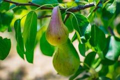 Eine junge grüne Birne Lizenzfreie Stockbilder