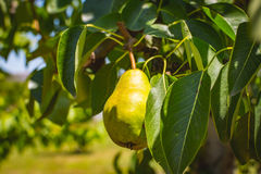 Eine junge grüne Birne Stockbild