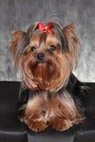 Eine junge Hunderasse Yorkshire Terrier mit einem roten Bogen Lizenzfreie Stockfotografie
