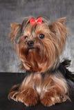Eine junge Hunderasse Yorkshire Terrier mit einem roten Bogen Stockfotografie