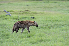 Eine junge Hyäne in Bewegung (3) Stockbilder
