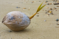 Eine junge Kokosnuss Stockbilder