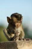 Eine junge Krabbe, die Makaken beim Phra Prang Sam Yod Temple, ot isst Lizenzfreie Stockfotos