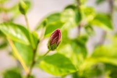 Eine junge rote Hibiscusblume im Garten lizenzfreies stockbild