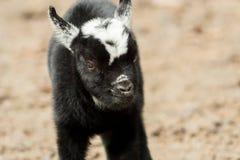 Eine junge Schwarzweiss-Ziege steht draußen Lizenzfreie Stockfotografie