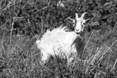 Eine junge Ziege lässt in einer Wiese weiden lizenzfreies stockbild