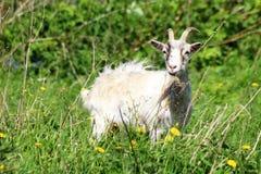 Eine junge Ziege lässt in einer Wiese weiden stockfotografie