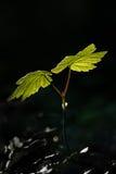 Eine Jungpflanze, die in das Leben entspringt Lizenzfreie Stockbilder